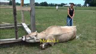 getlinkyoutube.com-Casting an Ox