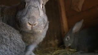 getlinkyoutube.com-«Сельский порядок». Секреты разведения кроликов (27.05.2015)