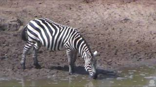 Happy Warthog and Plains Zebras at Africa Watering hole cam. 31 January 2017