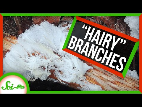 SciShow:When Winter Gives Dead Branches Hair