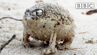 getlinkyoutube.com-Angry Squeaking Frog - Super Cute Animals: Preview - BBC One