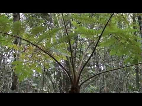 Samambaia xaxim,  Dicksonia Sellowiana, Samambaia-açu, Natureza a beira d'água,
