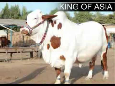 YouTube   BAKRA EID 2010 Cows Most Beautiful and Expensive Pakistan