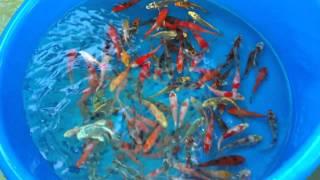 getlinkyoutube.com-Our Koi Fish Farm's Proper Acclimation and Quarantine Process- 2