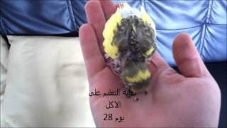 getlinkyoutube.com-تكملة تربية طائر البادجي / Supplement breeding bird budgerigar