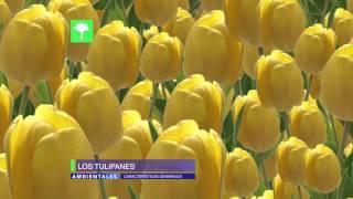 getlinkyoutube.com-¿Te gustan los Tulipanes? Aprende todo sobre ellos