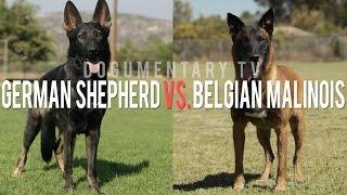 getlinkyoutube.com-THE BELGIAN MALINOIS VS. THE GERMAN SHEPHERD ELITE WORKING DOGS
