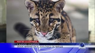 2 nuevos leopardos en el Zoológico de Naples