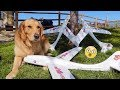 Golden Retriever & Lab Play with Airplanes!