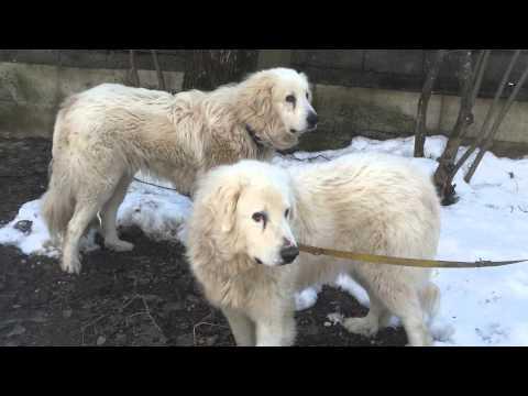 Gara te qenve