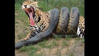 getlinkyoutube.com-04 briga de animais que você nunca viu. Anaconda vs Leopardo Tigre Puma e Onça