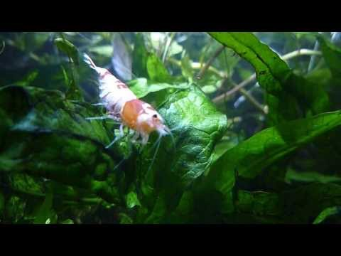 Female Red Crystal Shrimp grade SS