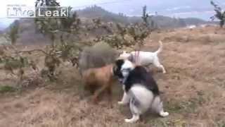 getlinkyoutube.com-صيد الخنزيز البري بواسطة الكلاب ....