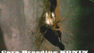 getlinkyoutube.com-Cara Sukses Breeding/Berternak Konin (Kolibri Ninja) By Ndoro Djadoel