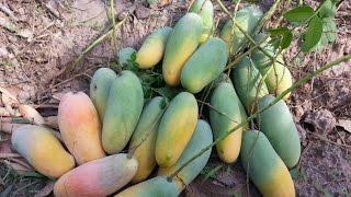 getlinkyoutube.com-ชมสวนมะม่วง พันธ์มหาชนก #ไร่โชคบุญกลม  ที่ อ.กุมภวาปี จ.อุดรธานี