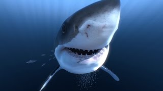 getlinkyoutube.com-Great White Sharks 360 Video 4K!! - Close encounter on Amazing Virtual Dive