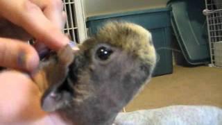 getlinkyoutube.com-10 Tips For Taming Your Guinea Pigs