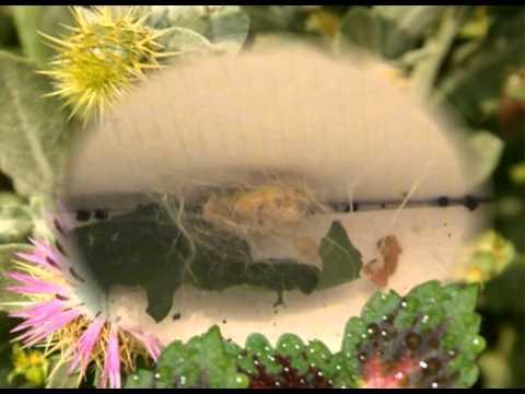 Fase 2: gusano de seda haciendo el capullo