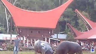 getlinkyoutube.com-Buffalo vs Buffalo Fight Toraja Funeral South Sulawesi Indonesia