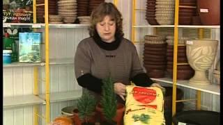 getlinkyoutube.com-Как содержать хвойные растения в комнатных условиях.