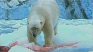 getlinkyoutube.com-Polar Bears have seal for lunch