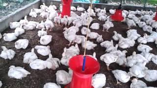 getlinkyoutube.com-Broiler poultry farming - ABHIJITH KADAYATH