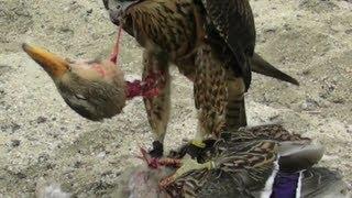 getlinkyoutube.com-Falcon Decapitates Duck