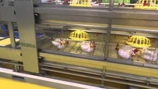 getlinkyoutube.com-Texha Offers Cage for Commercial Broilers with Automatic Move out managed by Robot