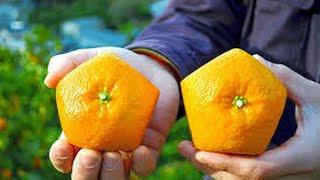 getlinkyoutube.com-افضل برتقال يزرع في الصحراء  oranges