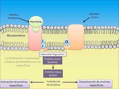 Mecanismo de Accion Hormona-Receptor
