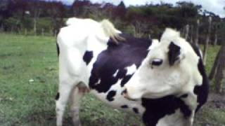 Sexy Cow - 2