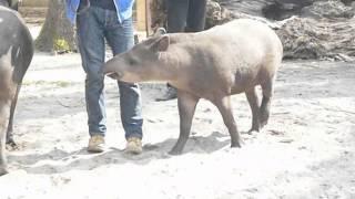 getlinkyoutube.com-Attack of a little crazy Tapir