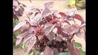 getlinkyoutube.com-ടെറസിലെ പച്ചക്കറി കൃഷി: Vegetable cultivation in Terrace
