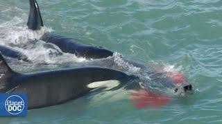 getlinkyoutube.com-Killer Whales Attack Elephant Seal: Patagonia