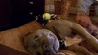getlinkyoutube.com-Creature Gets Adopted! | Pit Bulls & Parolees