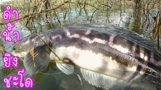 getlinkyoutube.com-ดำน้ำยิงปลาชะโดใหญ่ (ชะโดเล่นของ)