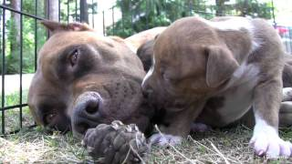 getlinkyoutube.com-Pit Bull Growls and Snaps at Her Puppies! (in HD)