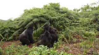 Rwanda Mountain Gorilla Fight