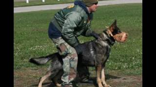 getlinkyoutube.com-Police K9 apprehension training and pictures
