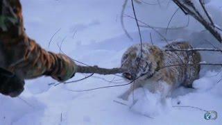 getlinkyoutube.com-Orphaned Tiger Cub Capture