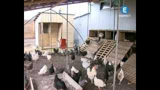 getlinkyoutube.com-Органічні курячі яйця