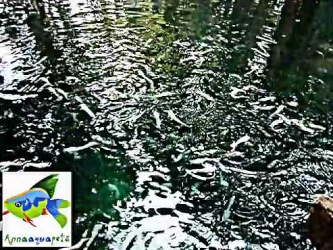 Anna Aqua Pets-Ornamental fish farm (Kerala) - White Cat Fish