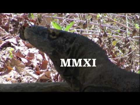 Komodo Dragons Mating: Trip to Rinca Island, Indonesia, 2011