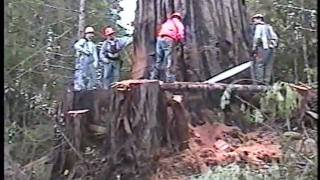 getlinkyoutube.com-Falling an old growth redwood tree; Humboldt County, CA, 2002