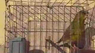 getlinkyoutube.com-Greenfinch Part2