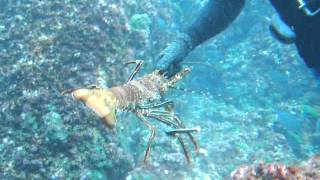 getlinkyoutube.com-How to catch lobsters by hand_0002.wmv