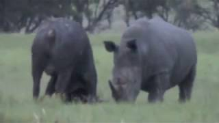 getlinkyoutube.com-Rhino Kills Buffalo in Epic Battle (Africa Style)