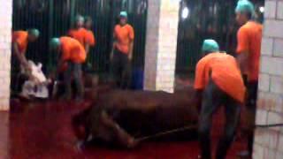 getlinkyoutube.com-Pemotongan sapi kurban Istiqlal 1434 H