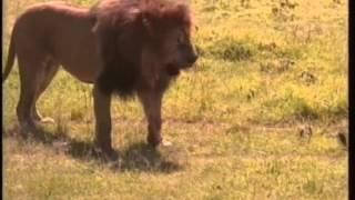 mapenzi ya lion