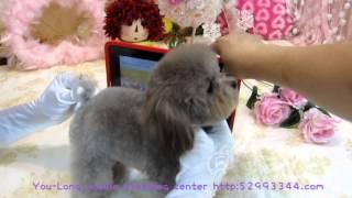 getlinkyoutube.com-Pocket-Super Tiny Teacup Poodle #101  body proportion show